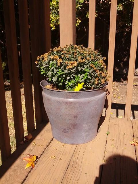 Chrysanthemums, October 26