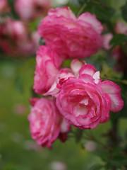 Rose, Harlekin, バラ, ハルレキーン,