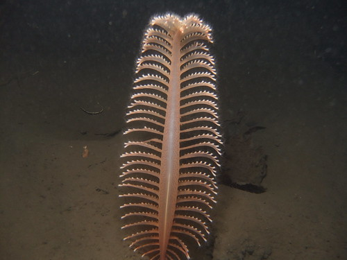 Phosphorescent Sea Pen