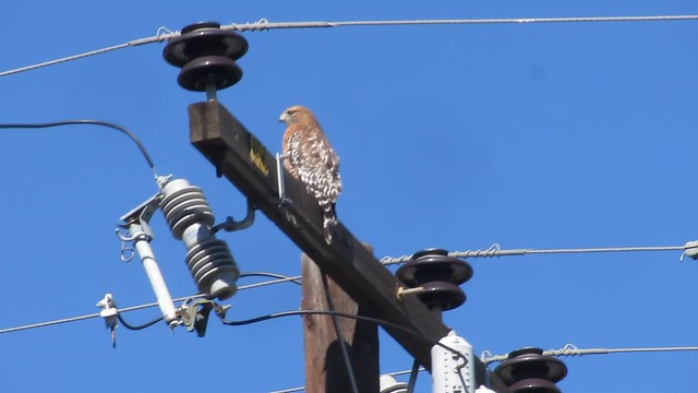 MVI_6875 red shouldered hawk goleta power pole coughing up