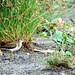 Small photo of Common Sandpiper (Actitis hypoleucos)