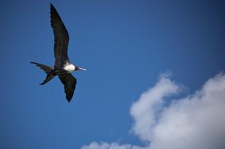 Bindenfregattvogel. Shot @ Sian Ka'an, Quintana Roo, Mexico. Foto: Stephan Benz