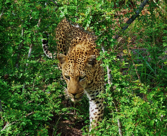 Leopardo en el Parque Nacional Kruger de Sudáfrica