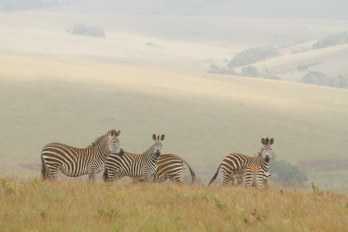 africa sun nature weather animal fog clouds sunrise malawi zebra northernregion nyikanationalpark