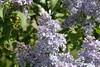 Lilacs In Bloom 010