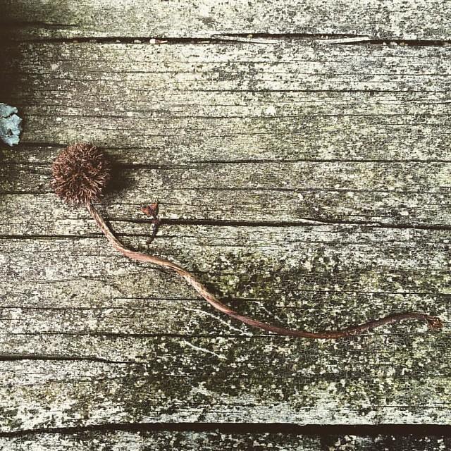 Comet Seed Pod #seedpods #seedpod