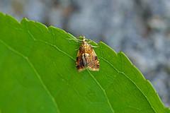 HolderPseudargyrotoza conwagana, St Bees, Cumbria, England
