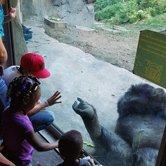 Playful #Gorilla @dallaszoo