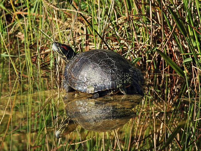 Turtle Canon60D 720mm EDITED 20141129
