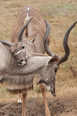 animal, antelope, mammal, horn, common eland, fauna, kudu, savanna, safari, wildlife,