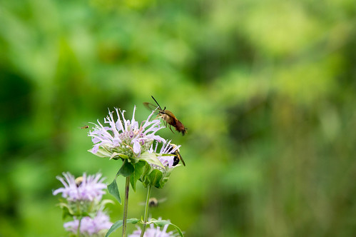 08973 Hummingbird Clearwing Moth