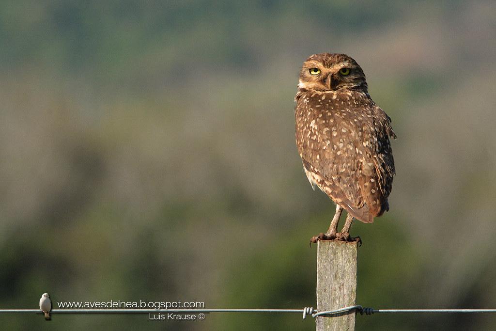 Lechucita vizcachera (Burrowing Owl) Athene cunicularia