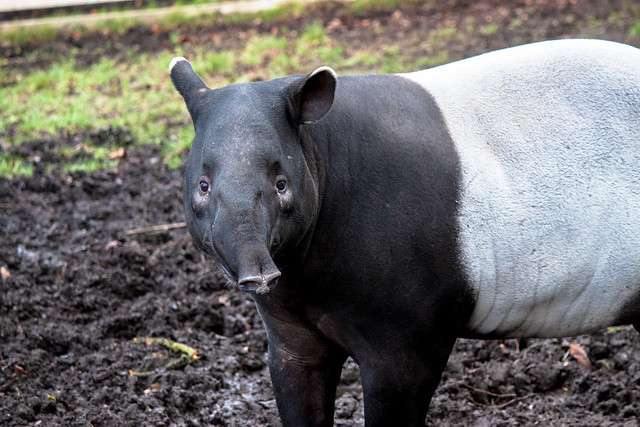 Malayan Tapir, Edinburgh Zoo
