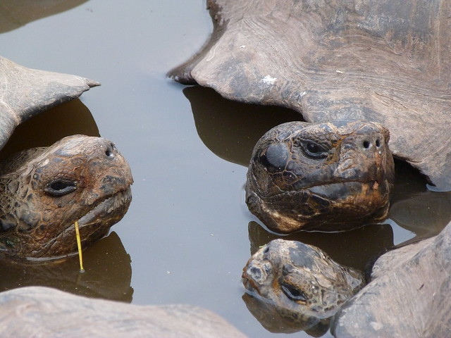 Tortugas gigantes de Galápagos bañándose en una charca
