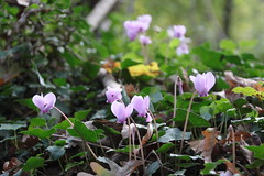 shrub, flower, plant, nature, flora, cyclamen,