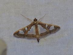 Glyphodes bivitralis