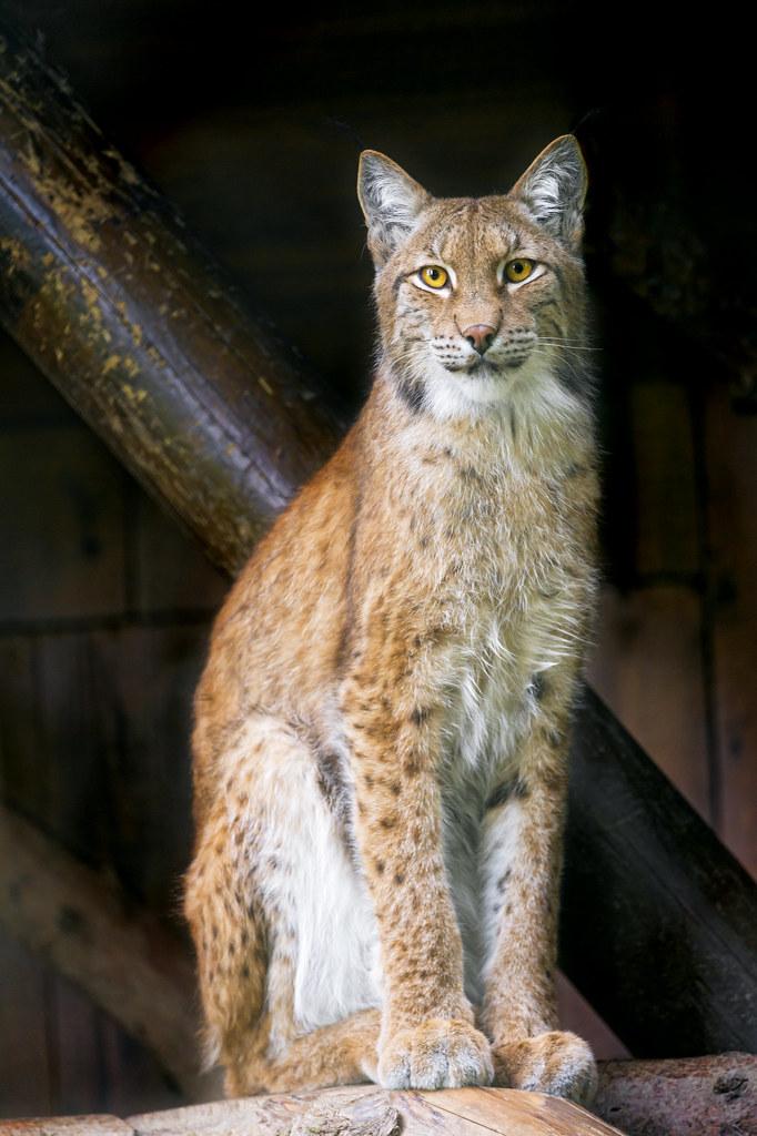 Brave sitting lynx