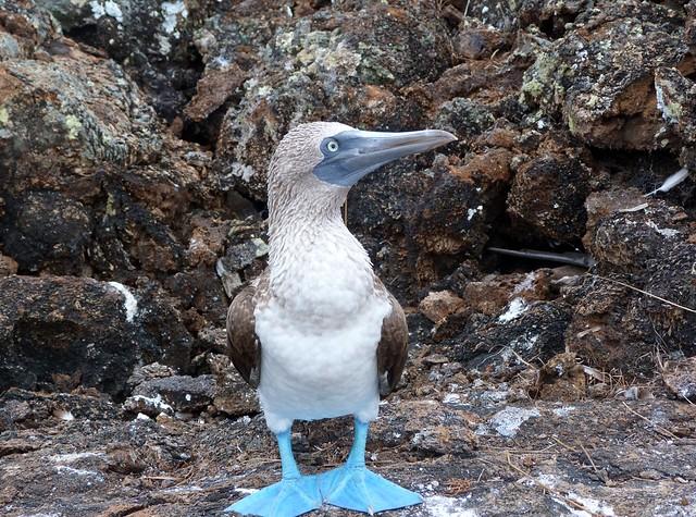Piquero de patas azules (Islas Galápagos)