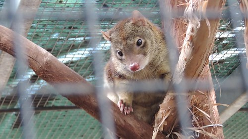 Tiger or Spotted Quoll