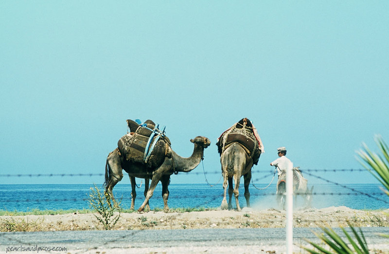 camels_lebanon_web