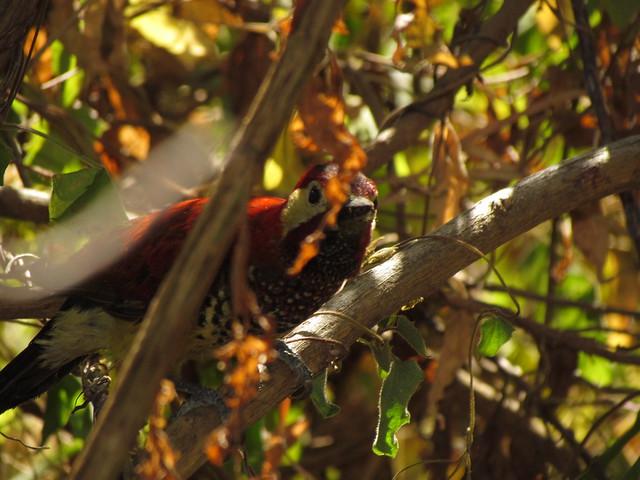 Pájaro Carpintero 2
