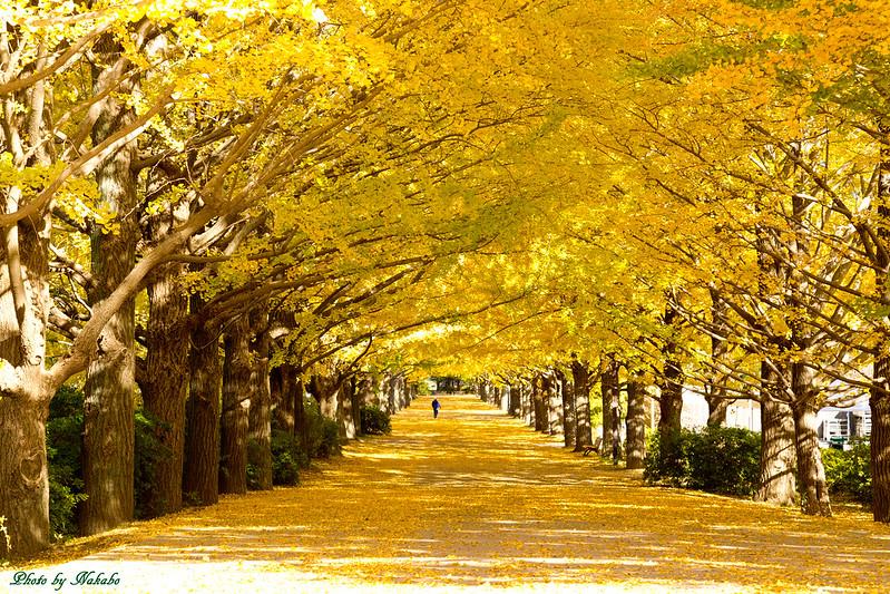 かたらいのイチョウ並木@国営昭和記念公園 by Nakabo