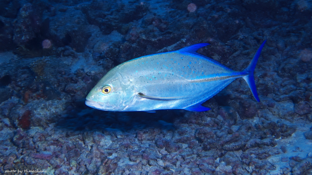 カスミアジ、キレイな青色でした!