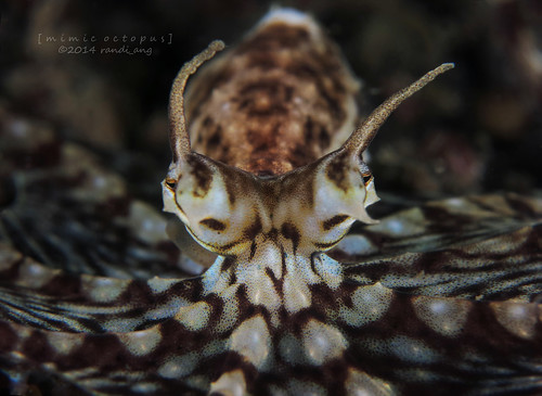 Mimic Octopus Crab Mimic Octopus