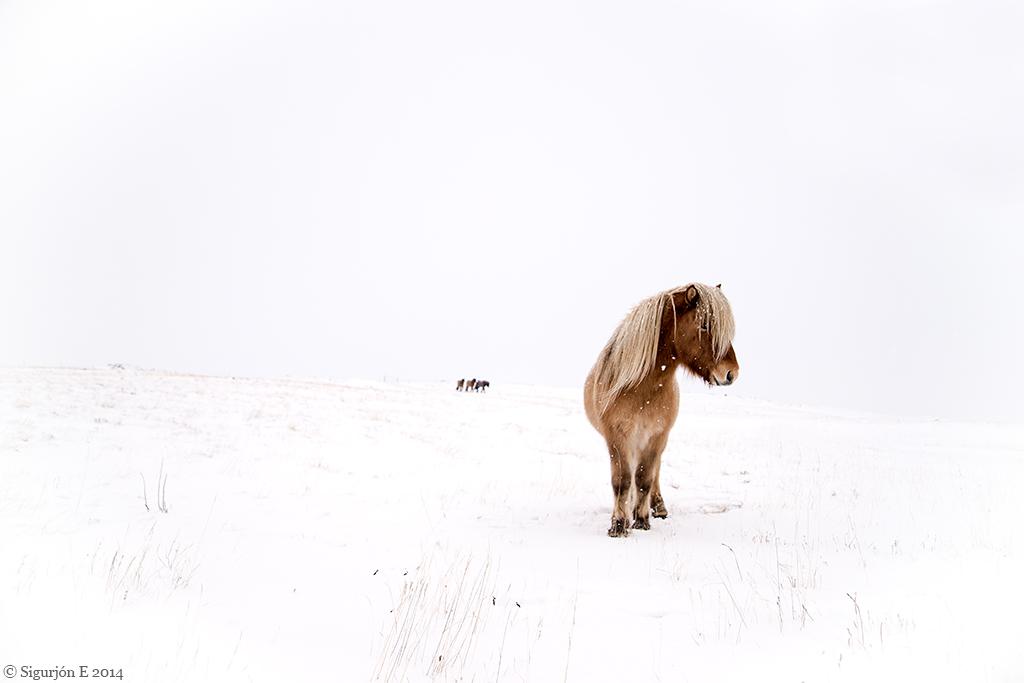 Icelandic horses_SIG_8504