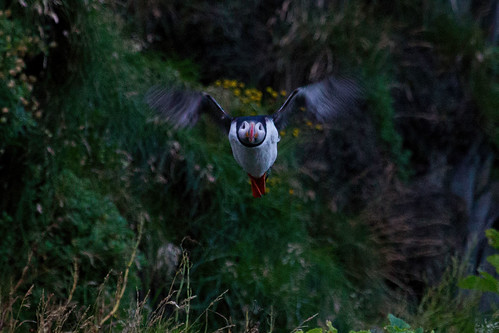 Atlantic Puffin - Lunnefågel