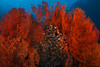 Red on red : seafan sheltering anthias