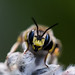 wasp by Christian ±π
