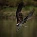 5-20-2016 Osprey II by mikecullivan