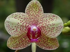 Phalaenopsis Sorrento