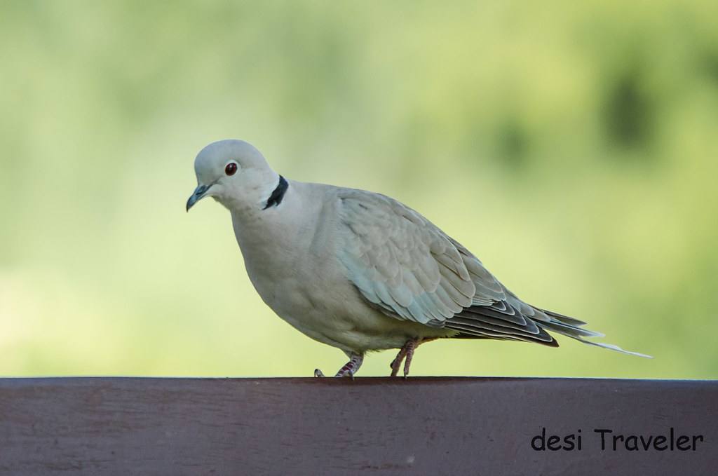 Collared Dove Rajasthan India