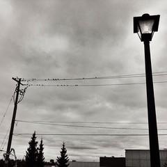 Life on the line! #life #birds #nature #line #blackandwhite #blackandwhitephotography @eduardontavares