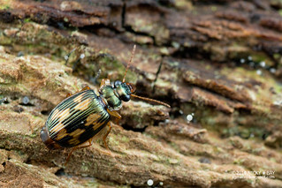 Ground beetle (Coptodera marginata) - DSC_0791