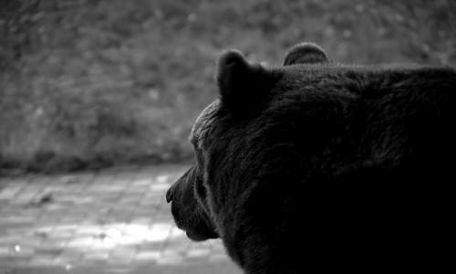 Bear staring at...