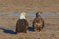 Eagle Chat
