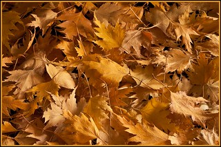 Golden Birch Leaves In The Autumn