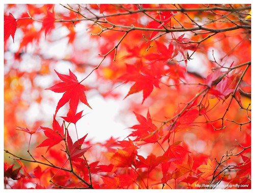 Red leaves #06