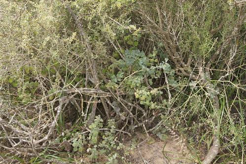 P. gibbosum in dense bush