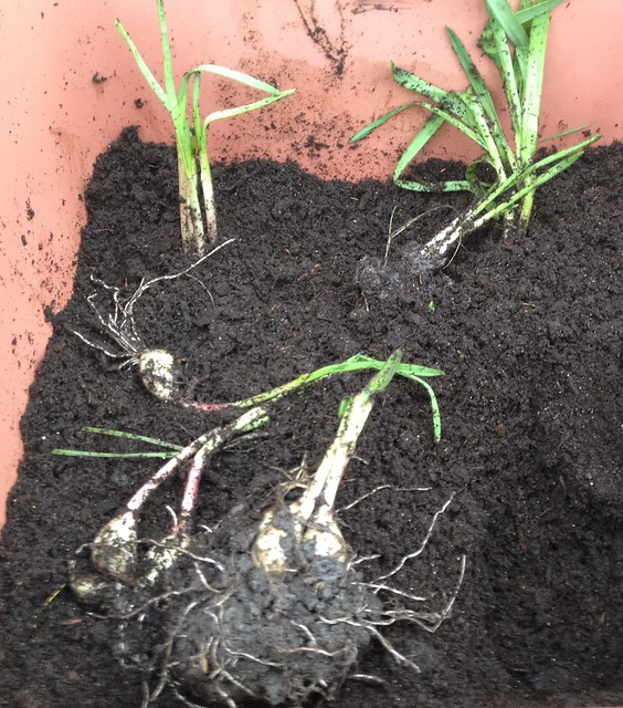 Garlic clumps