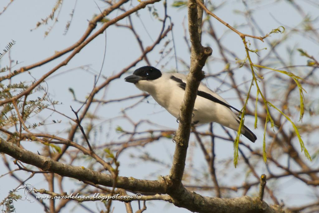 Tueré chico (Black-crowned Tityra) Tityra inquisitor ♂