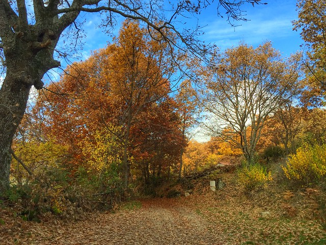 Castañar de Casillas en otoño (Valle del Tiétar, Ávila)