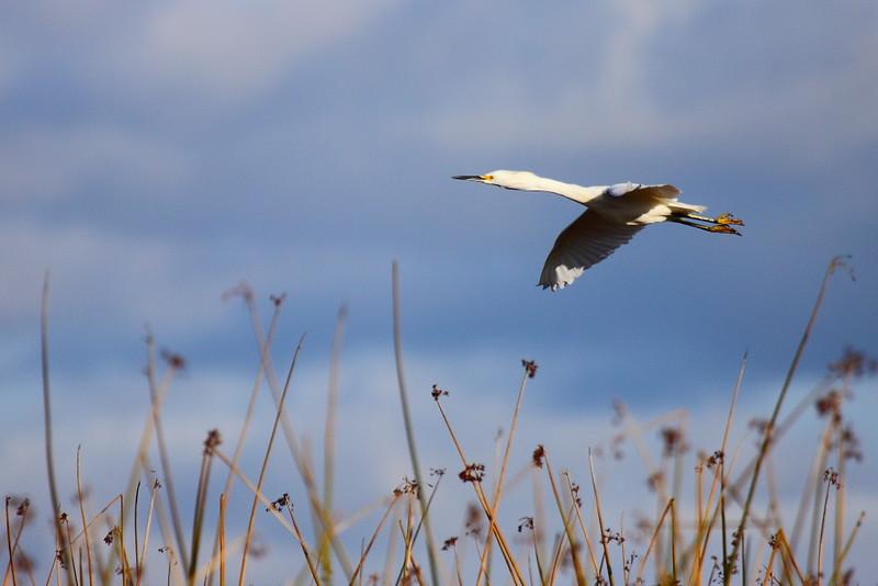 IMG_7028 Snowy Egret