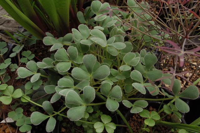 オキザリス・ケンアスレッド Oxalis purpurea 'Ken Aslet'