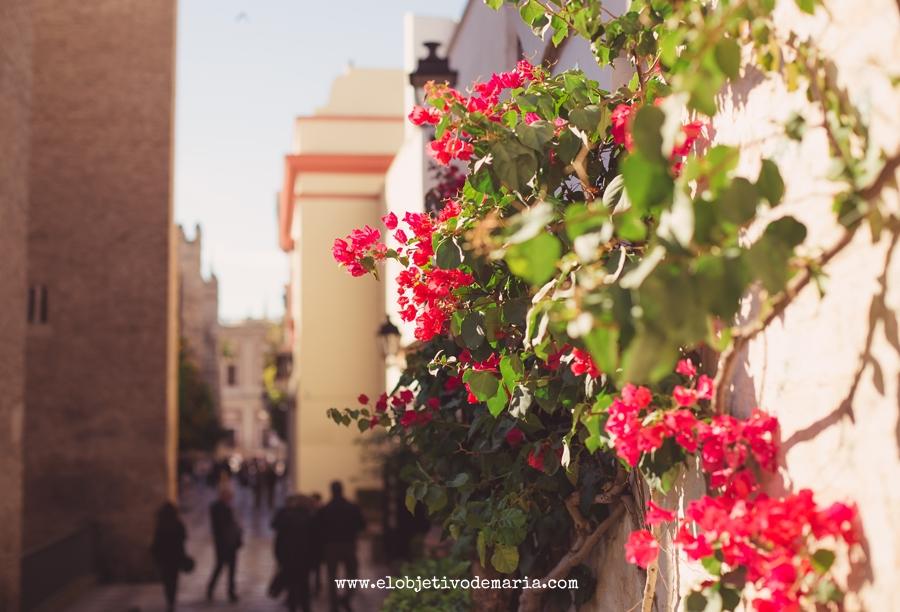 Geranios de Sevilla