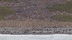 King Penguin (Aptenodytes patagonicus) on Salisbury Plain