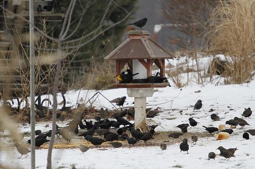ny newyork rare blackbird rarity xanthocephalusxanthocephalus yhbl